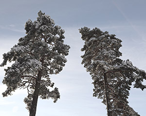 Photo of two trees by Ellen J Røed